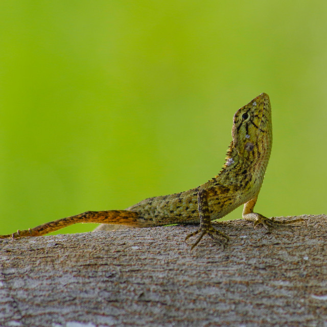 """Another sunbathing gecko"" stock image"