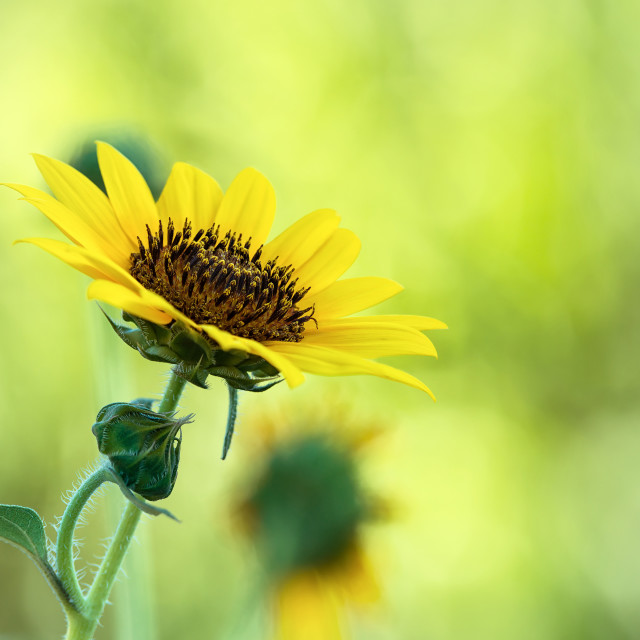 """Sunflower blossom against natural green background"" stock image"