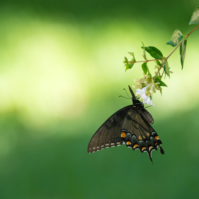 """""""Eastern Tiger Swallowtail butterfly (Papilio glaucus) feeding on"""" stock image"""