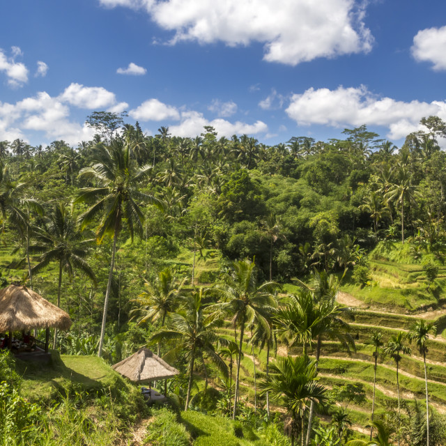 """View on rice fields in Bali"" stock image"