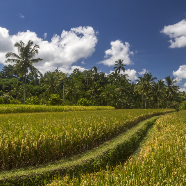 """View of rice fields in Bali"" stock image"
