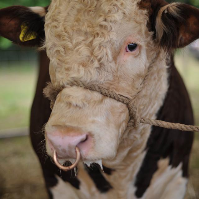 """Show Bull"" stock image"