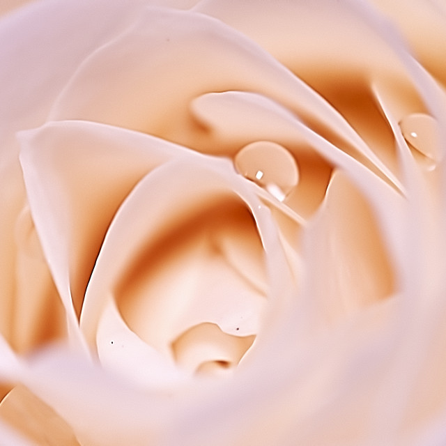 """""""Rose and dew"""" stock image"""