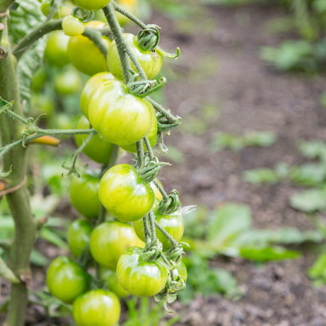"""Unripe green outdoor UK tomatoes"" stock image"