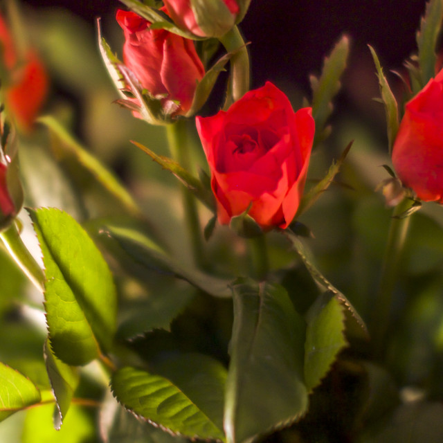 """Roses"" stock image"