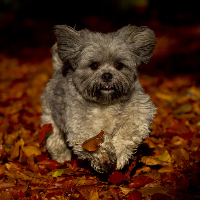 """Shih Tzu in Autumn Leaves"" stock image"