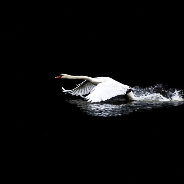 """Swan Launching"" stock image"