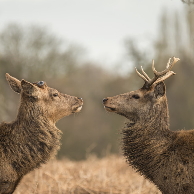 """Stag Stand Off"" stock image"