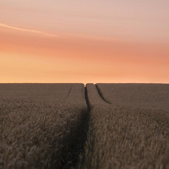 """""""Wheat In Morning Sun"""" stock image"""