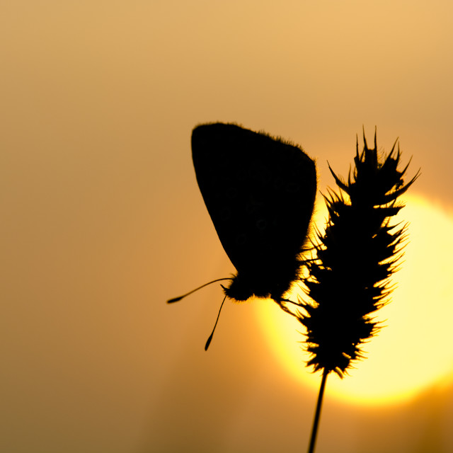 """Butterfly Silhouette"" stock image"