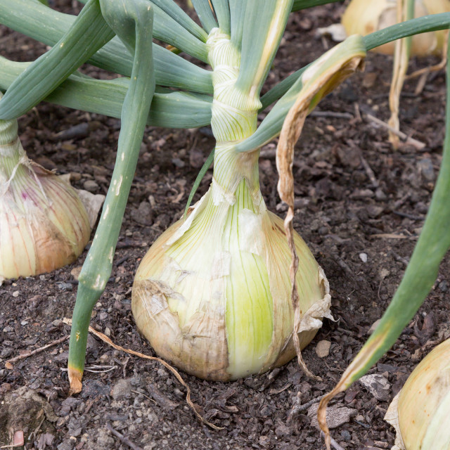 """Single Onion ready for harvest"" stock image"