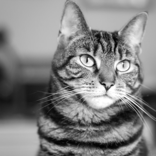"""""""Tabby Cat Black and White Photograph"""" stock image"""
