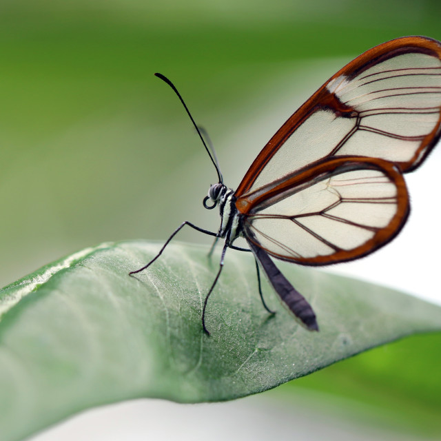 """Glasswinged butterfly"" stock image"