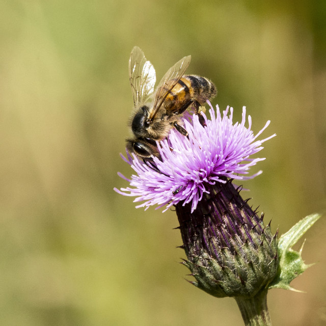 """Honey Bee on Thistle Head"" stock image"