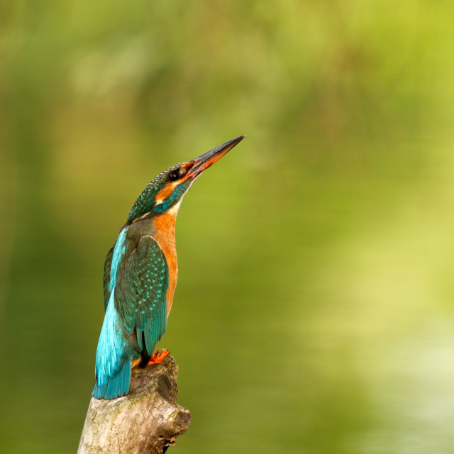 """Kingfisher( Alcedo atthis)"" stock image"