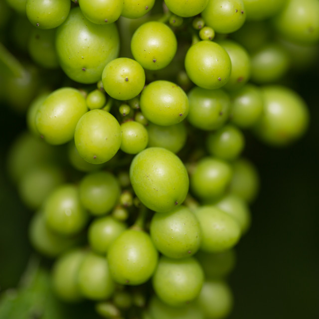 """Green unripe grapes in England"" stock image"