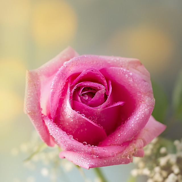 """Rose and dew"" stock image"