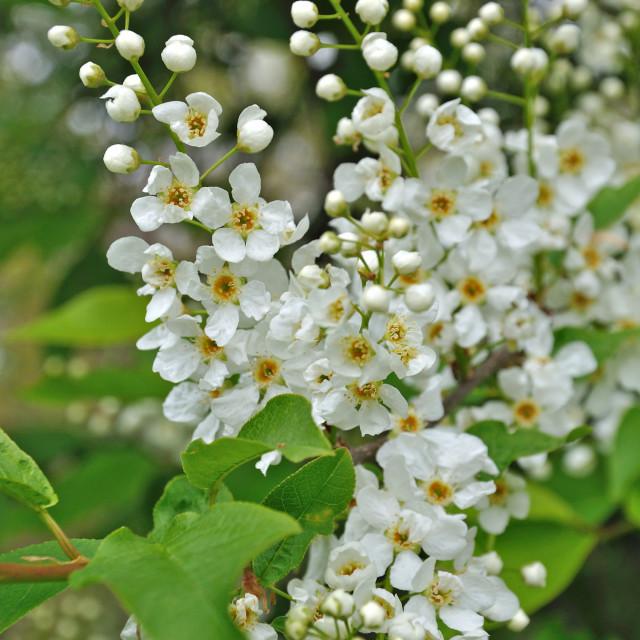 """White cherry spring flowers"" stock image"