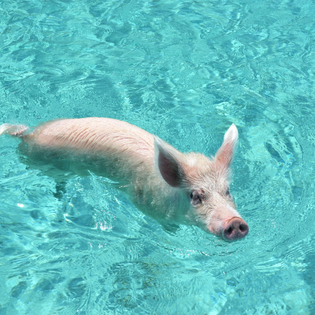 """""""Pig in water"""" stock image"""