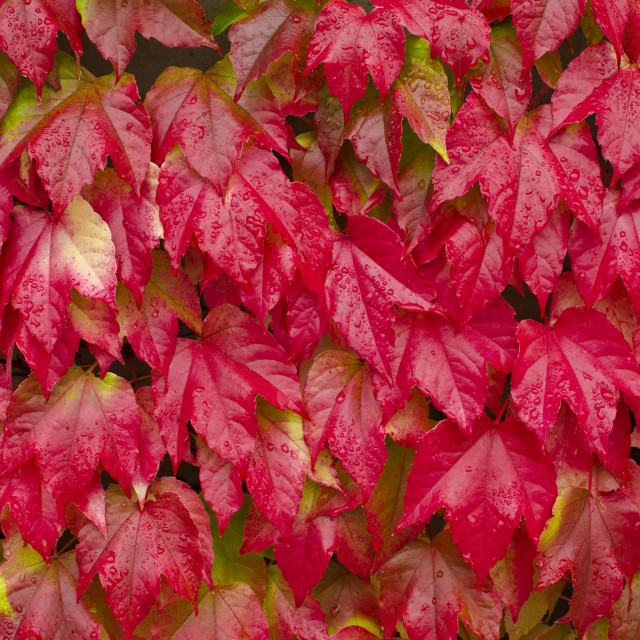 """Red autumn ivy leaves"" stock image"