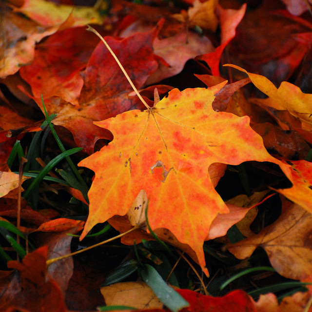 """Orange Maple Leaf"" stock image"