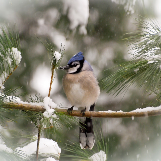 """Blue Jay as Snow Falls"" stock image"