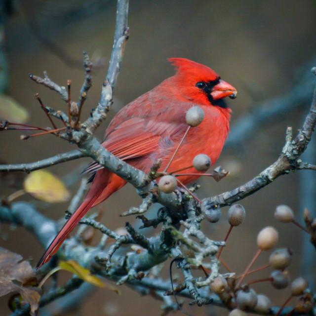 """Male Northern Cardinal"" stock image"