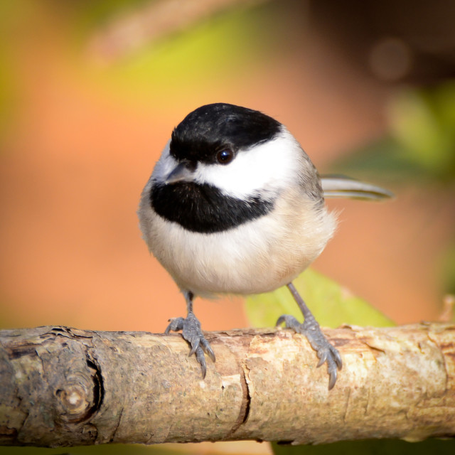 """Carolina Chickadee"" stock image"