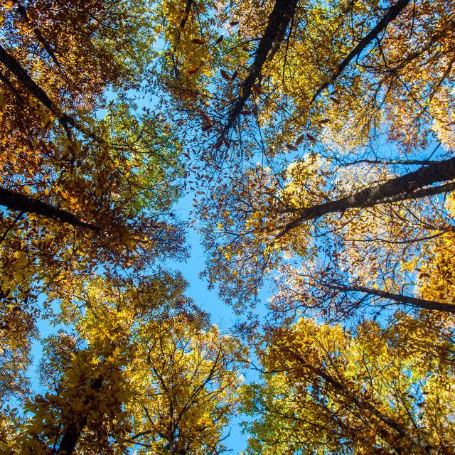 """Chestnut trees"" stock image"