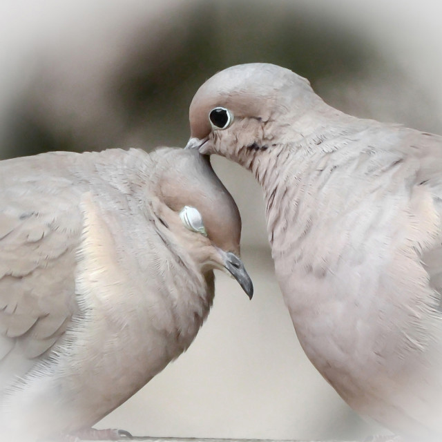 """""""Mourning Dove Love"""" stock image"""