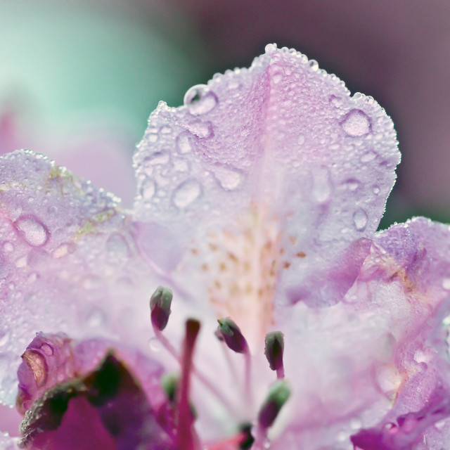 """Rhododendron Petals"" stock image"