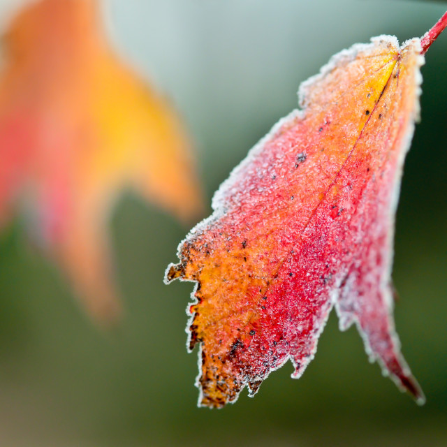 """Frosty Autumn Leaf"" stock image"