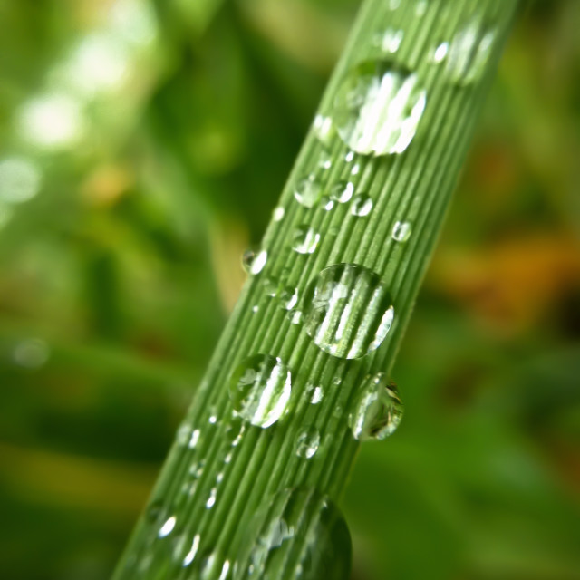 """Grass With Droplets"" stock image"