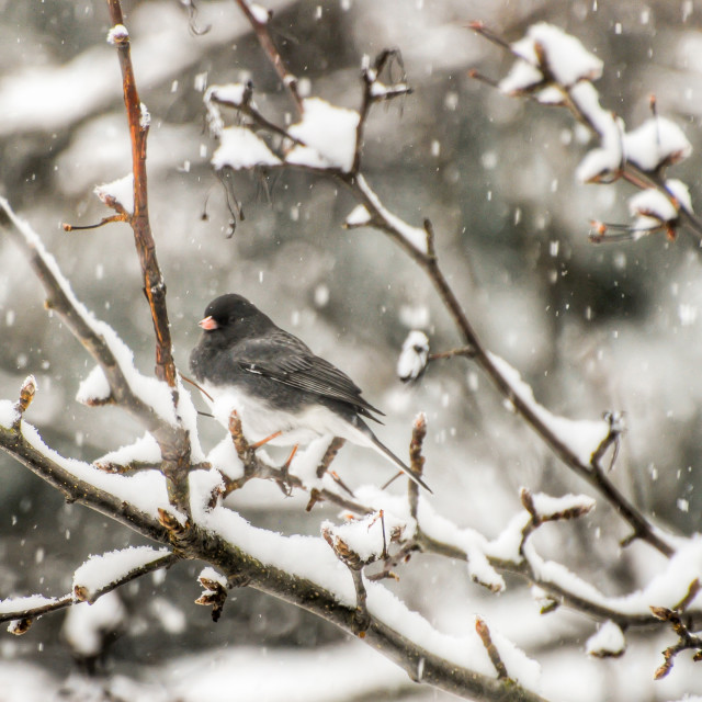"""Dark-eyed Junco in Snow"" stock image"