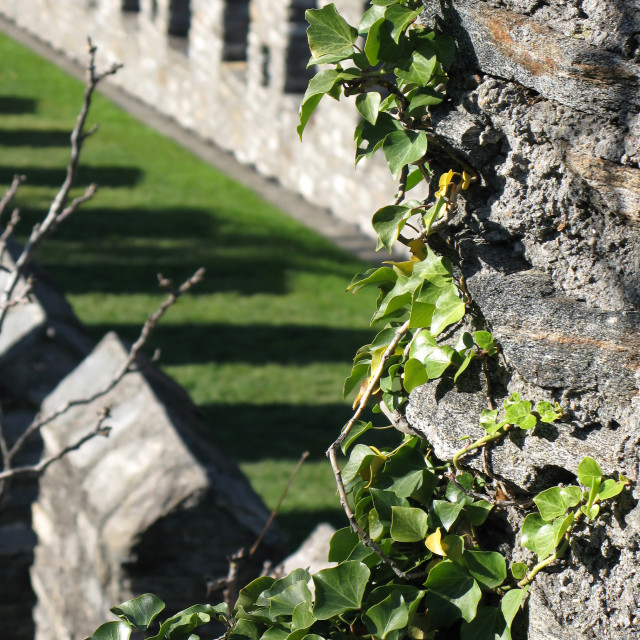 """Ivy bush on an ancient wall. Bellinzona, Switzerland"" stock image"