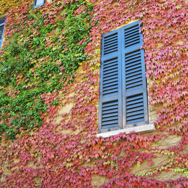 """Ivied wall of an old house in Menaggio tow, Italy"" stock image"