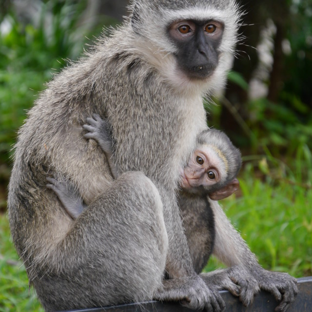 """Close-up of Vervet monkeys, mother with baby."" stock image"