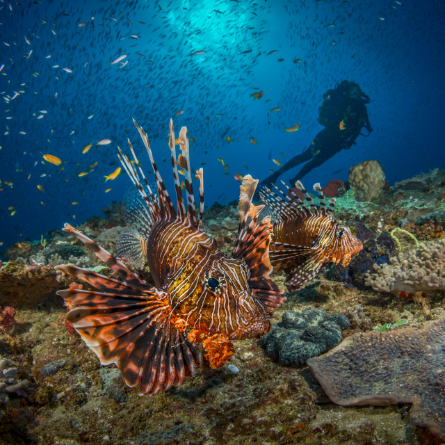 """Lionfish and diver"" stock image"