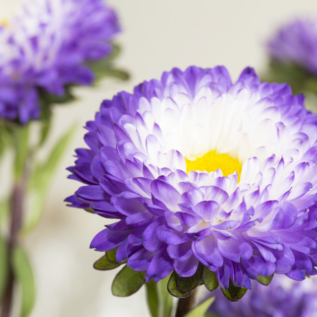 """Purple Flowers"" stock image"