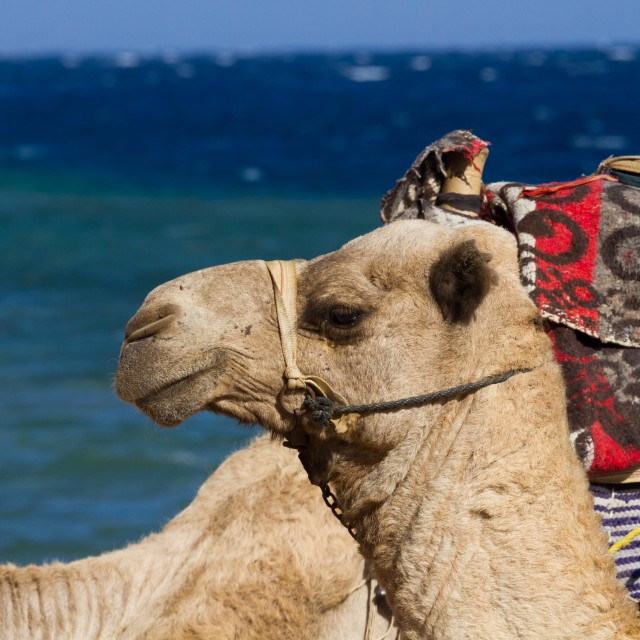 """""""Camels on the beach at the Blue Hole, Dahab, Egypt"""" stock image"""