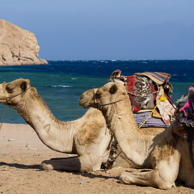 """Camels on the beach at the Blue Hole, Dahab, Egypt"" stock image"