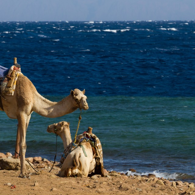 """Camels 'parked' on the beach at the Blue Hole, Dahab"" stock image"