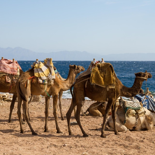 """Camels parked on the beach near the Blue Hole, Dahab"" stock image"