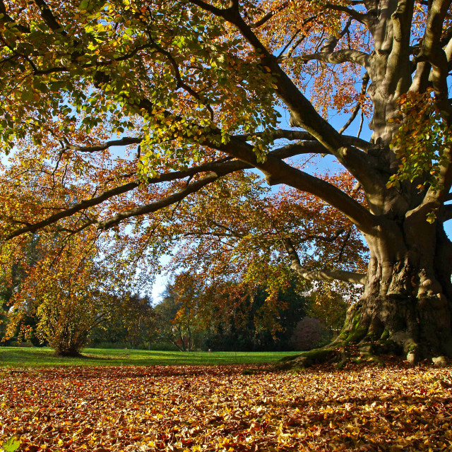 """Copper Beech in Autumn"" stock image"