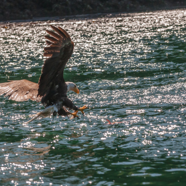 """Canada - Bald Eagle in Flight"" stock image"