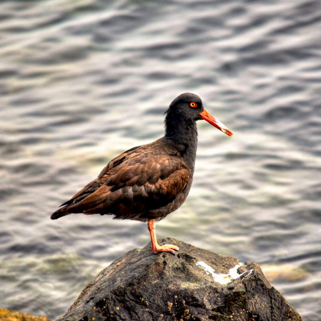 """""""Oyster Catcher"""" stock image"""