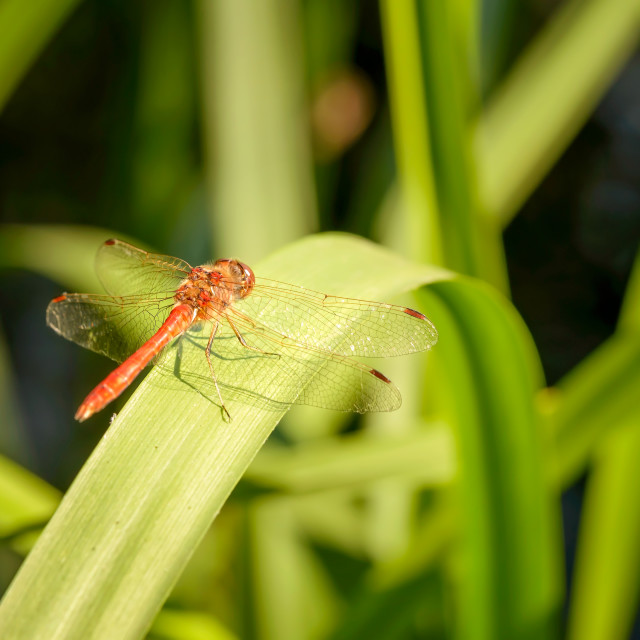 """""""Dragonfly in the Reeds"""" stock image"""