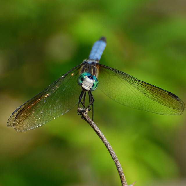 """Dragonfly Smiles"" stock image"