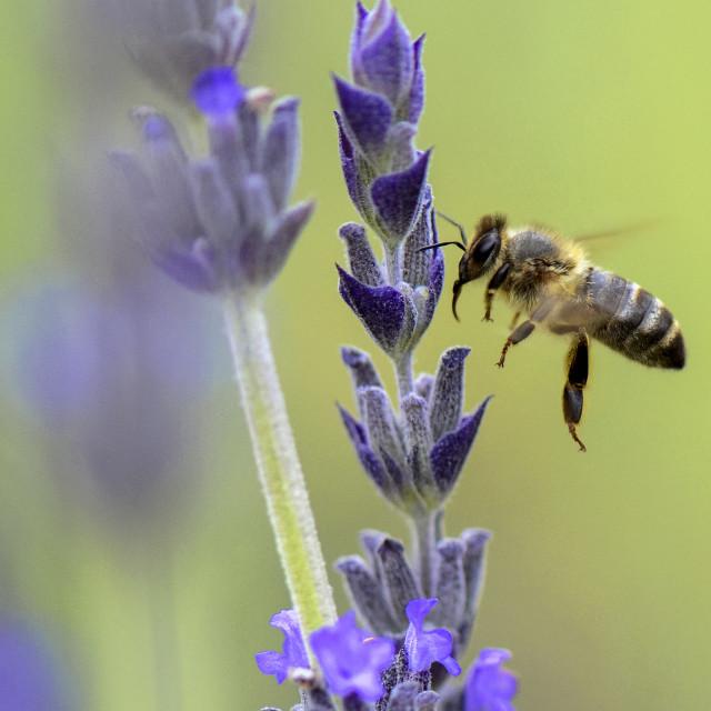 """""""Dark honey bee in flight"""" stock image"""