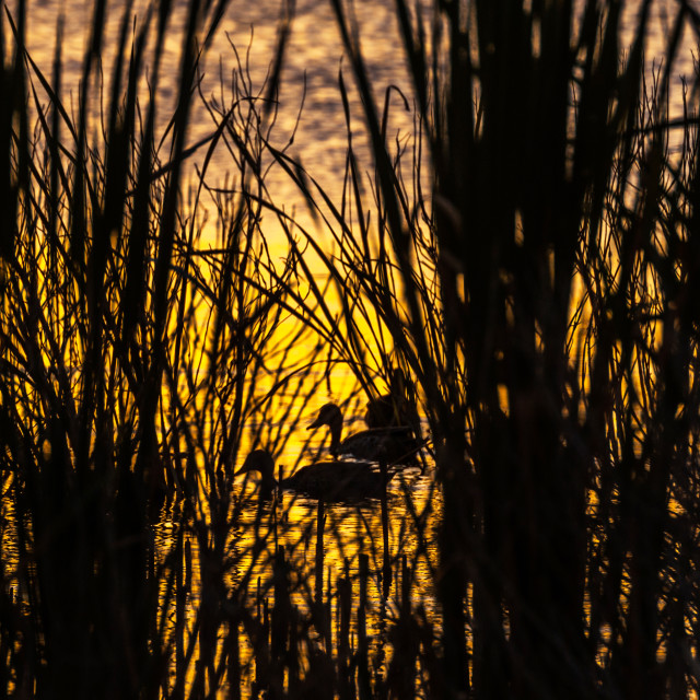 """""""Ducks in the wild, silhouetted in the reeds"""" stock image"""